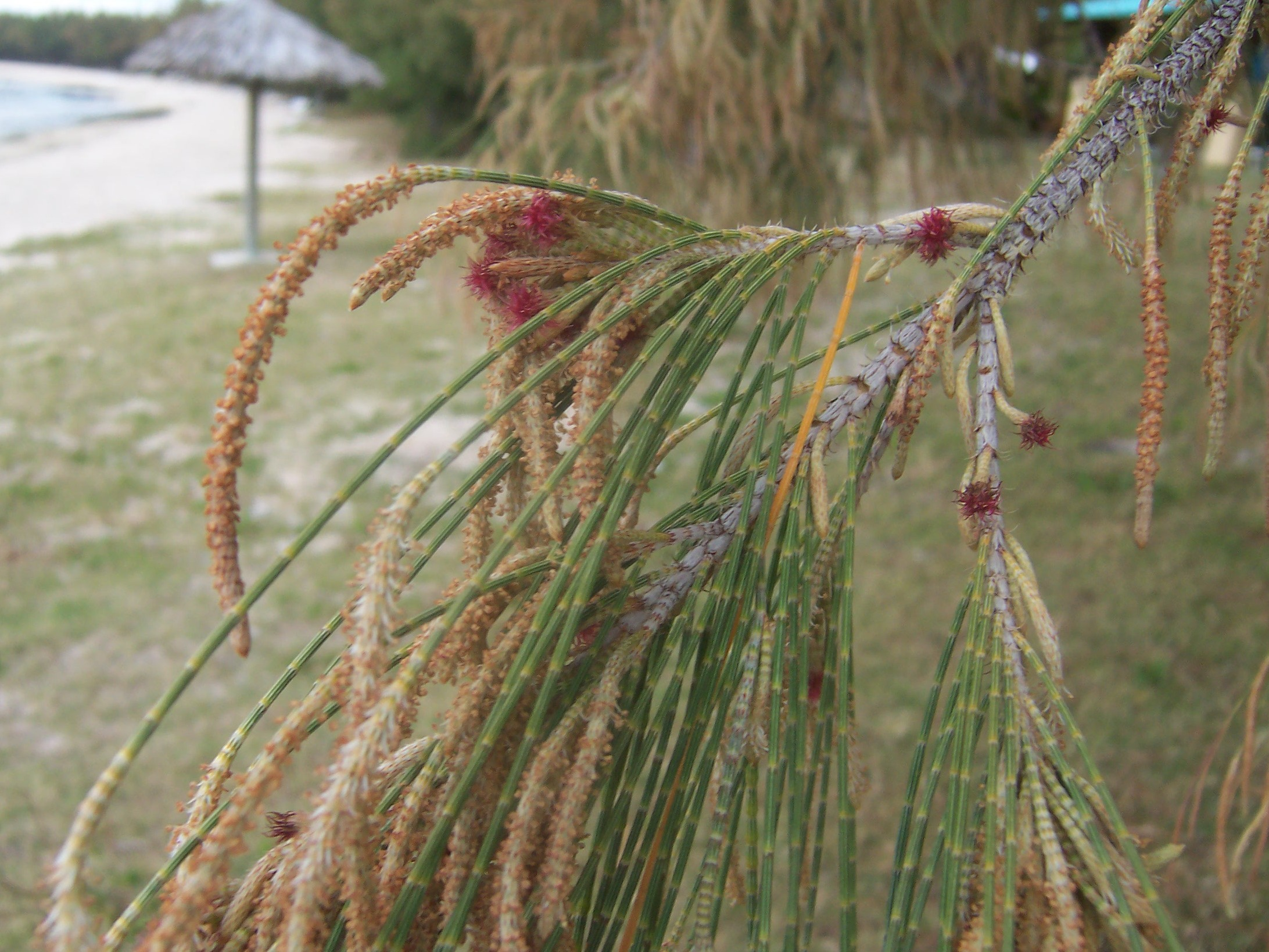 Casuarina equisetifolia  with catkin-like male flowers and smaller, red female flowers.