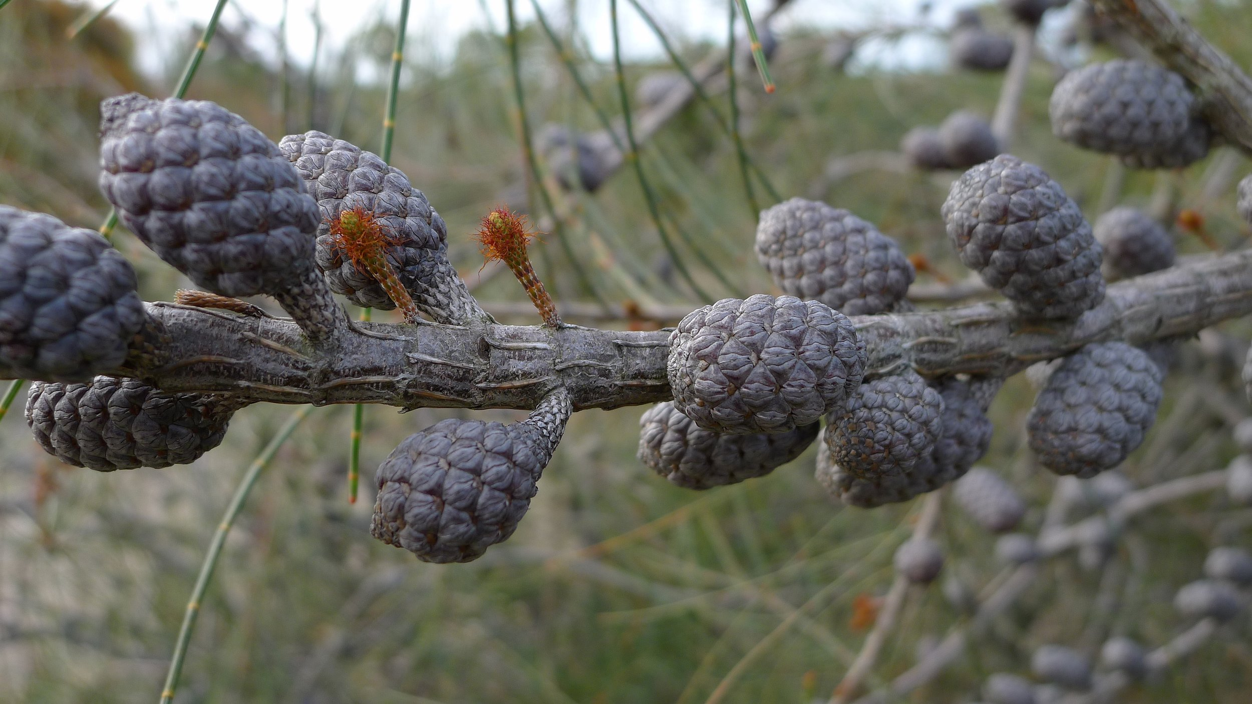 Allocasuarina distyla  female flowers and infructescence.