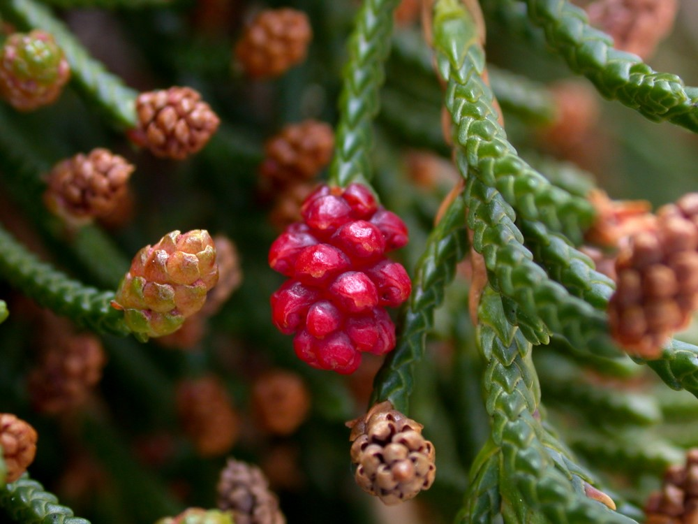 Mature female cones look more like angiosperm fruit than a conifer cone.