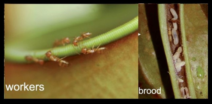 Worker ants cleaning the pitcher (left) and an ant brood chamber inside of the pitcher tendril (right).