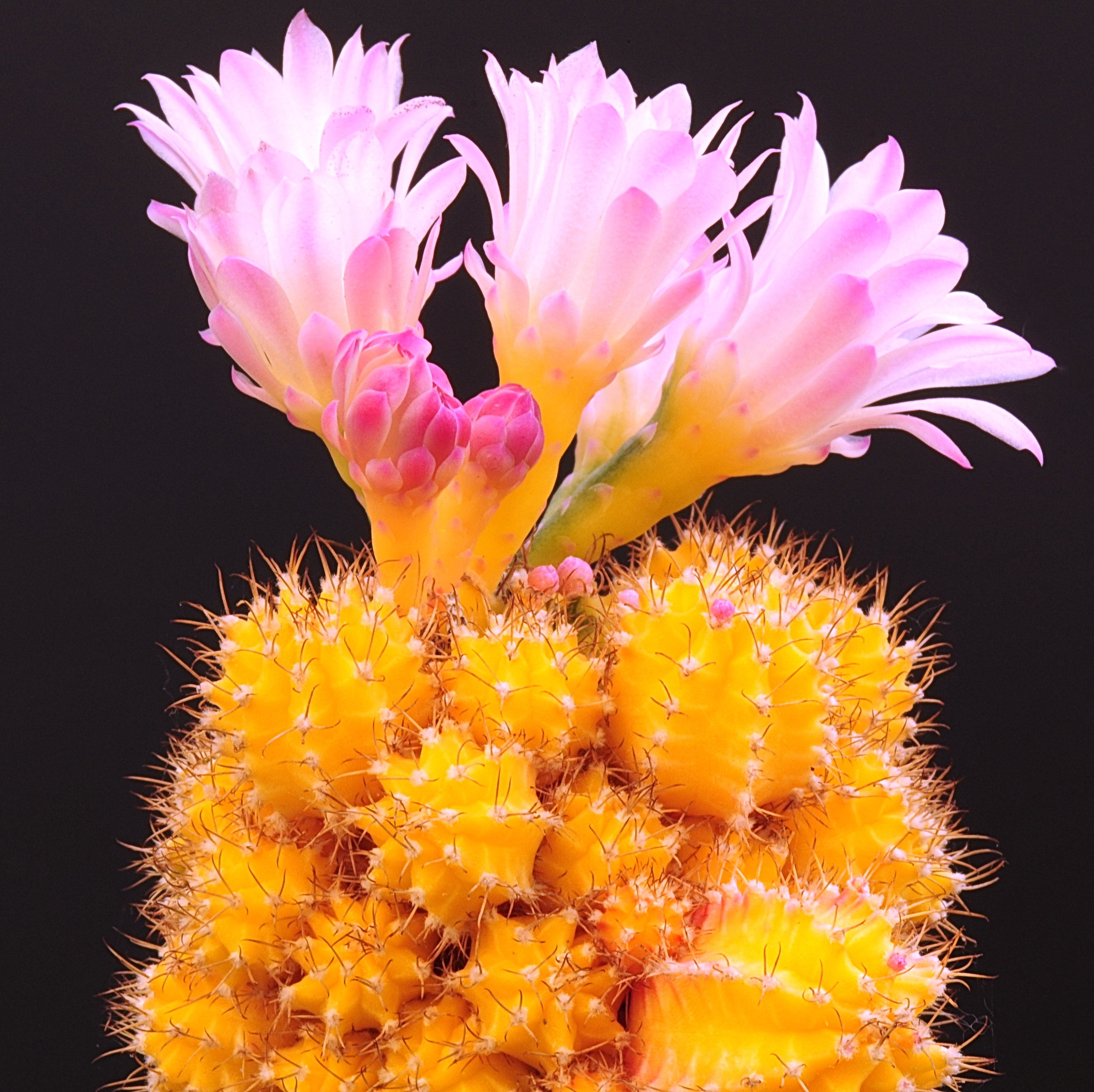 Provided their host cactus is kept happy, mutant  Gymnocalycium mihanovichii  will flower.