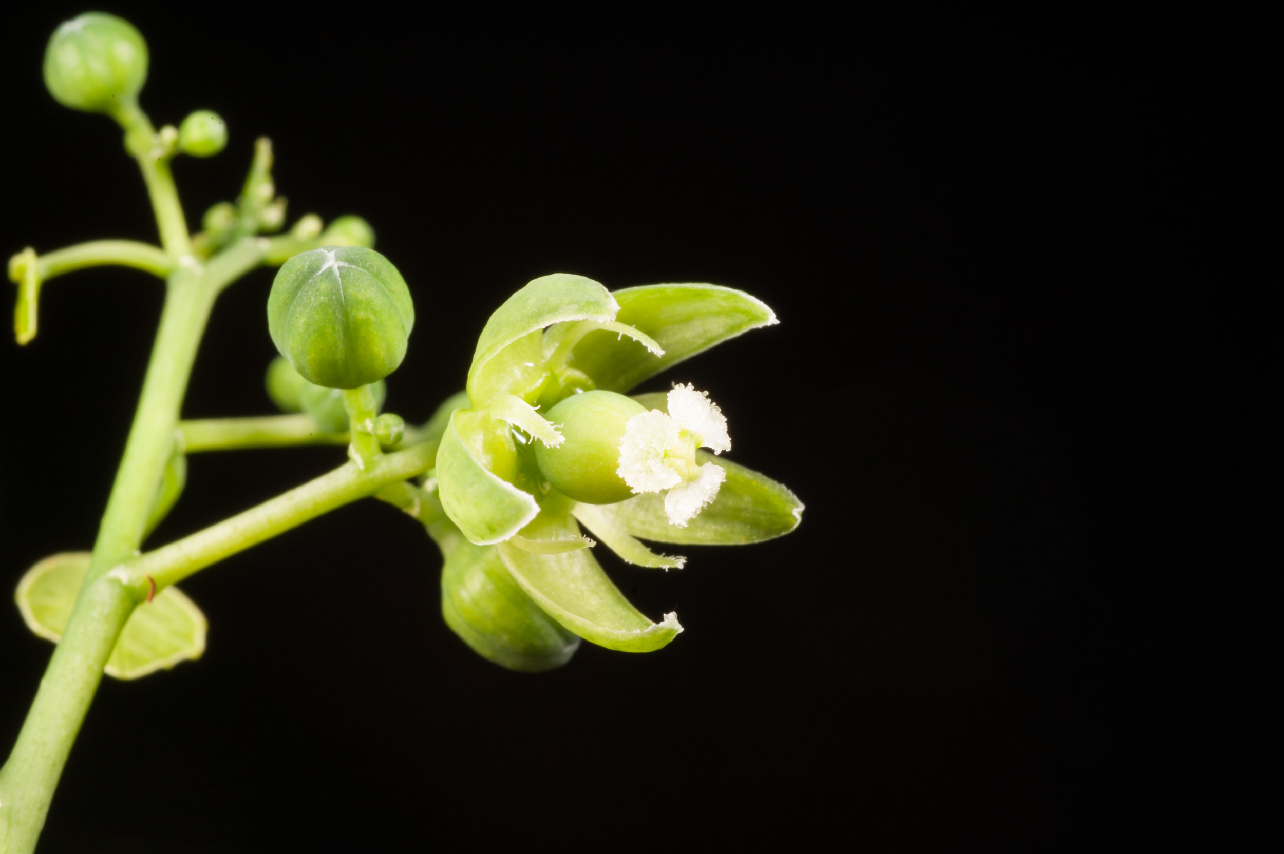 Female flower of  Adenia reticulata