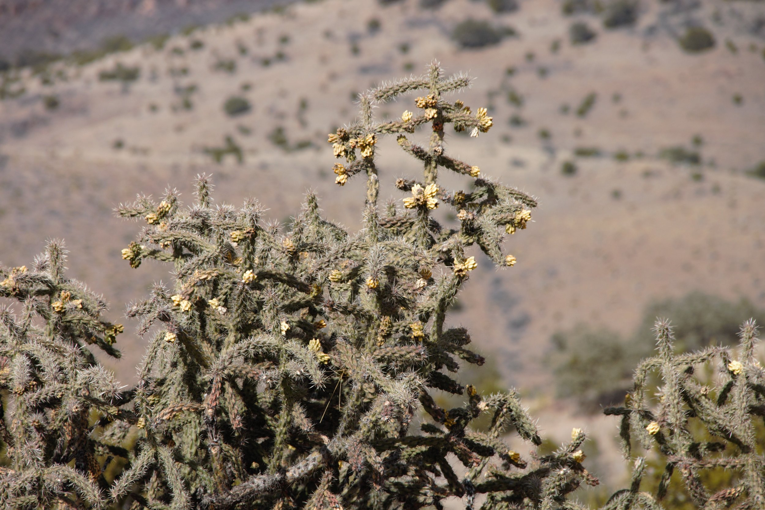 Tree cholla ( Cholla  sp.)