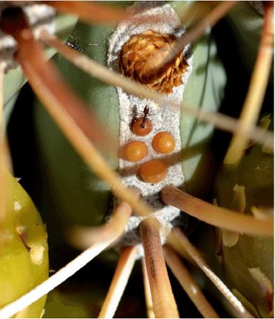 Highly modified spines functioning as extrafloral nectaries in  Ferocactus emoryi.