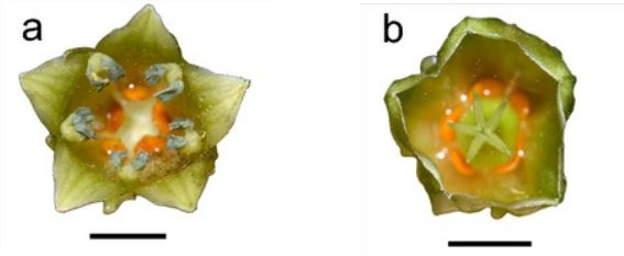 Male flower (a) and female flower (b). Note the presence of the orange glands at the base.