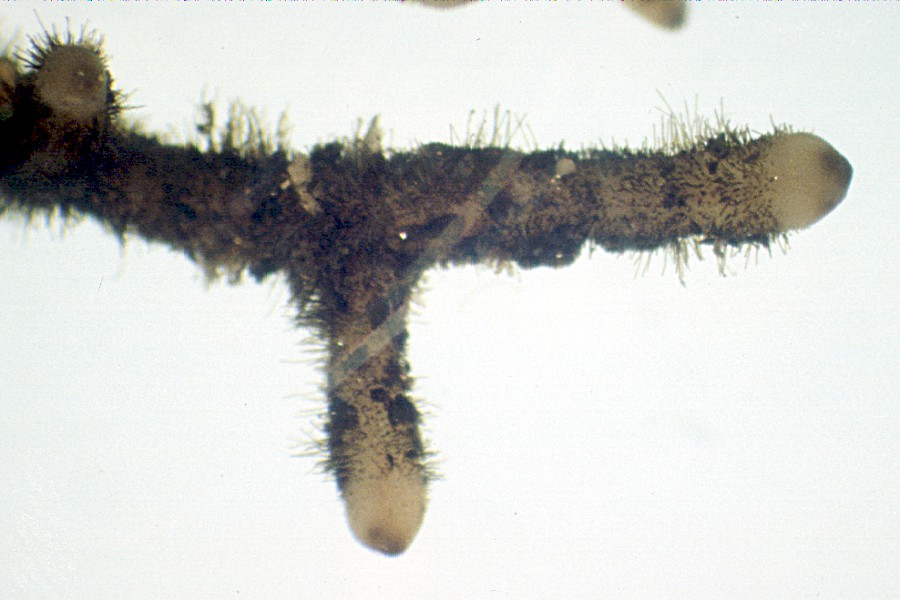 A  Psilotum  rhizome with hair-like rhizoids.