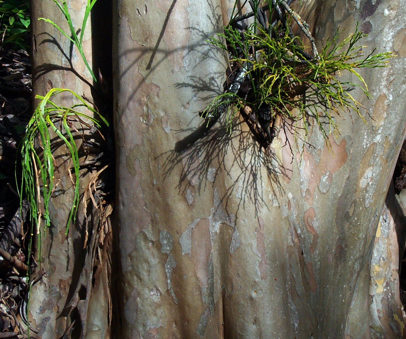 Psilotum complanatum  (left) and  Psilotum nudum  (right) growing epiphytically.