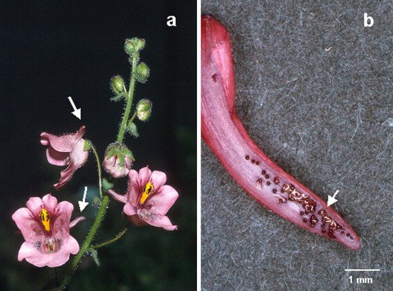 Diascia megathura  (a) inflorescenc with arrows indicating spurs and (b) cross sectioned spur showing the trichomes secreting oil (Photos: G. Gerlach).