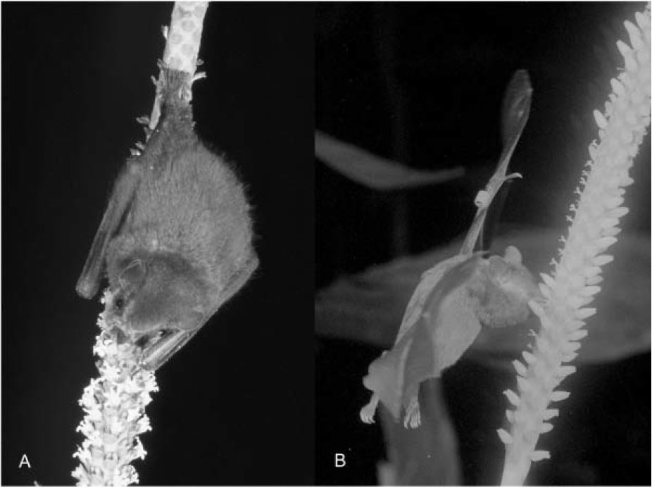Two species of bat visiting coligallo palm inflorescences: A) A perching  Artibeus  bat feeding on male flowers and B) a hovering  Glossophaga  bat feeding on female flowers.