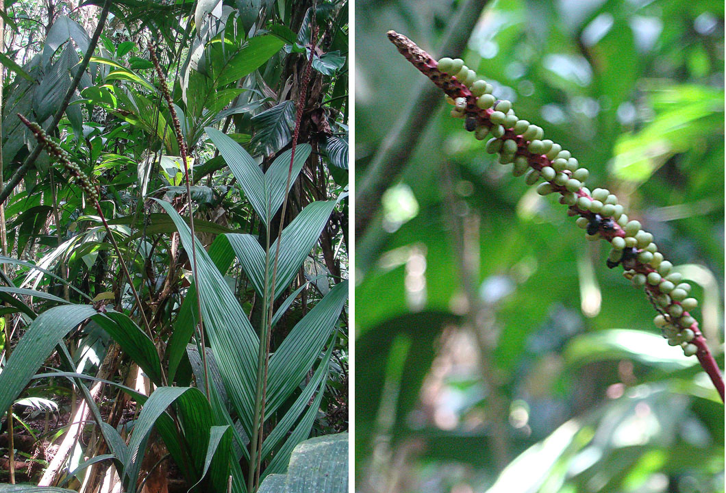 A coligallo palm infructescence showing signs of ample pollination.