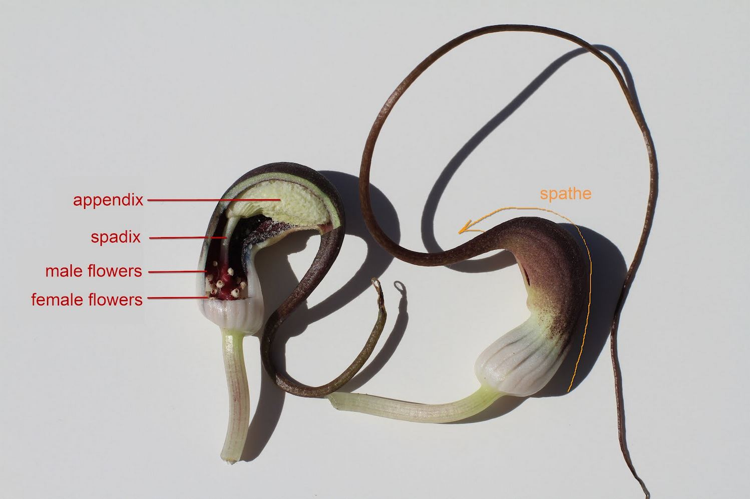 Anatomy of a mouse plant inflorescence  [SOURCE]