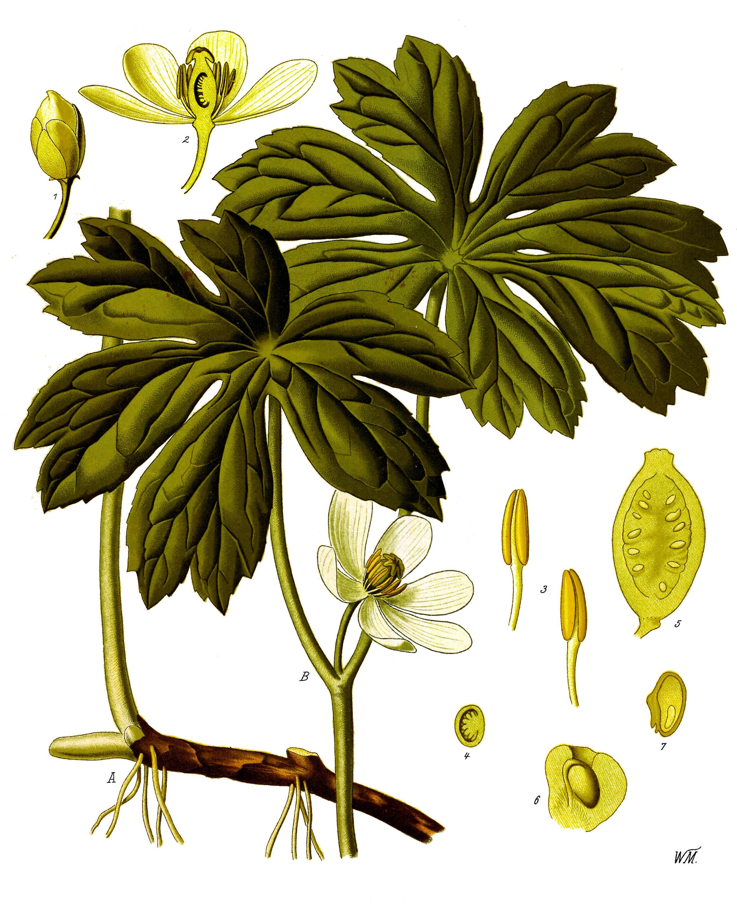 Podophyllum_peltatum_-_Köhler–s_Medizinal-Pflanzen-246.jpg