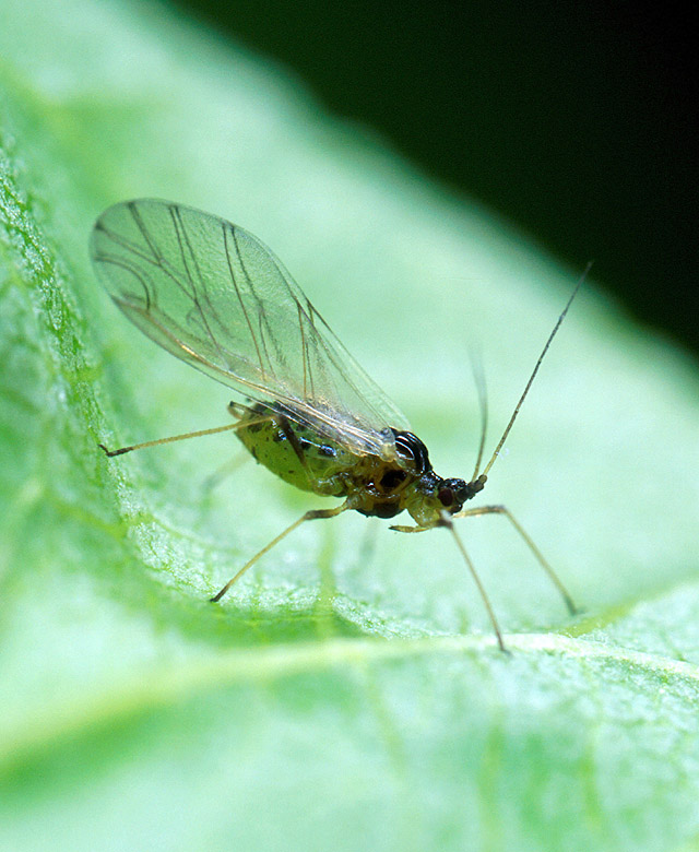An alate (winged) green peach aphid (Myzus persicae).