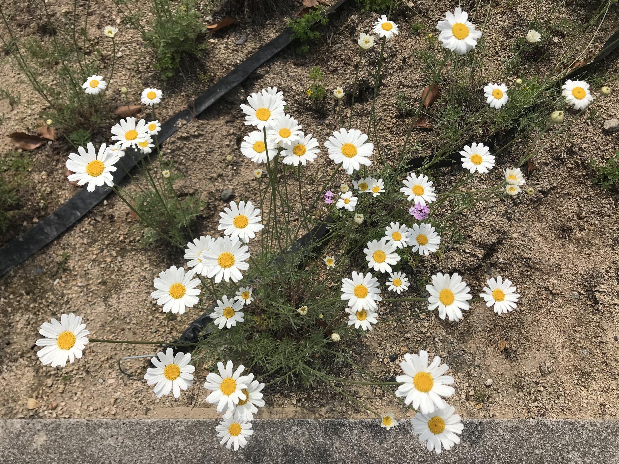 Flowers_of_Tanacetum_cinerariifolium_20180430.jpg
