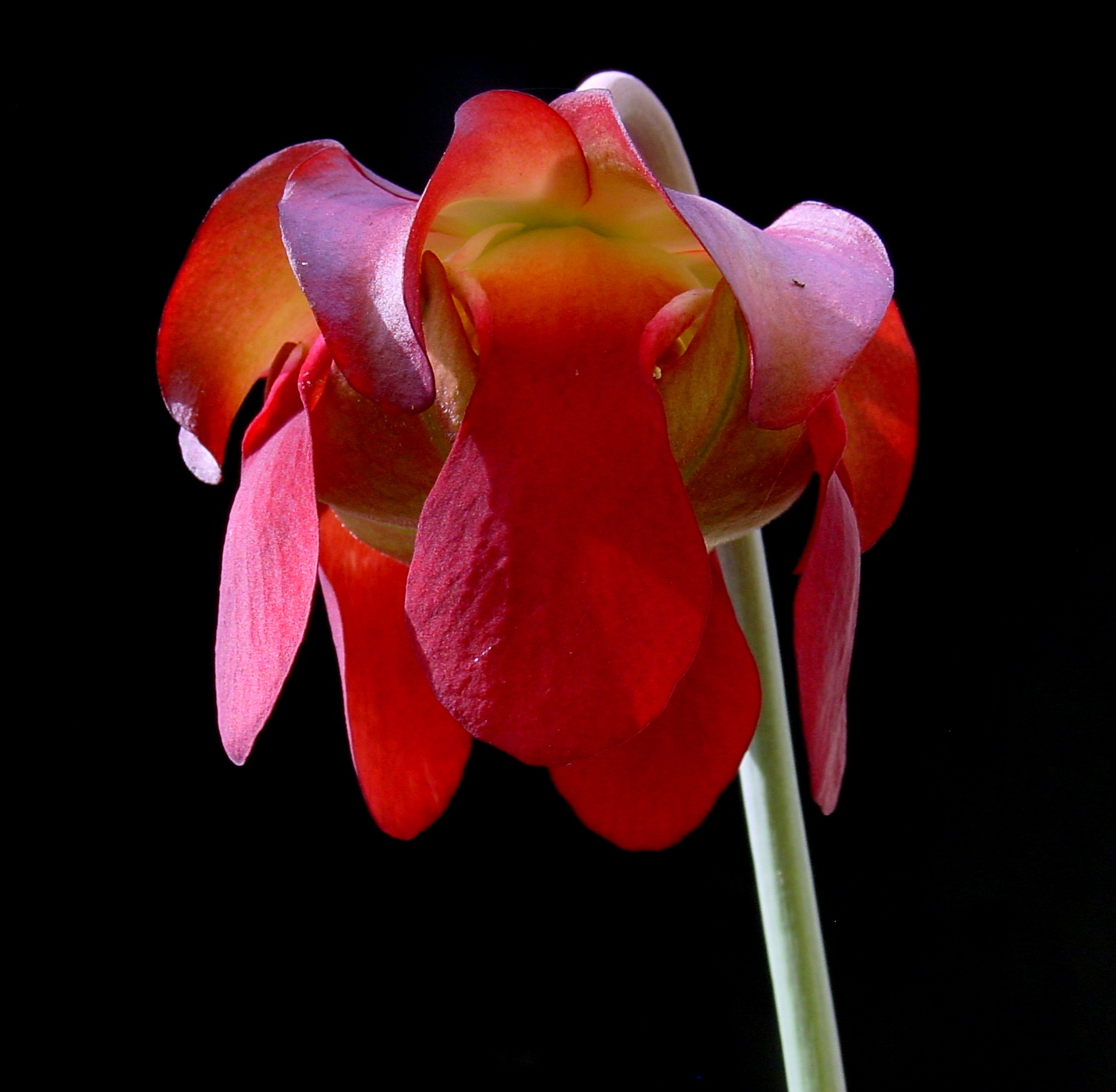 Sarracenia leucophylla  flower  [SOURCE]