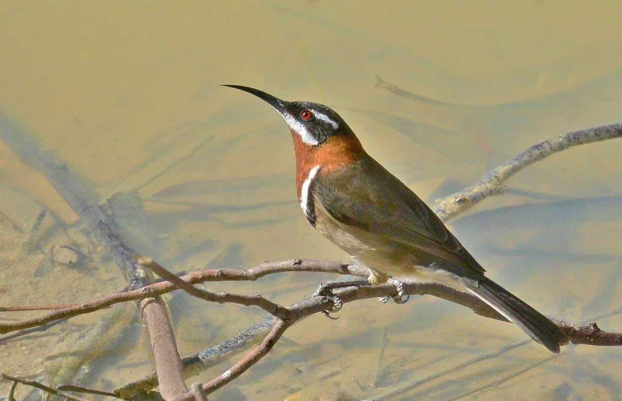 The western spinebill ( Acanthorhynchus superciliosus ). Note the curved beak.
