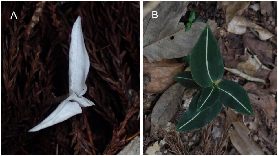 A) Albino and (B) green individual of  Goodyera velutina .