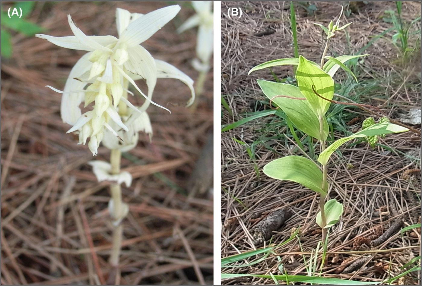 (A) Albino and (B) green individuals of  Epipactis helleborine