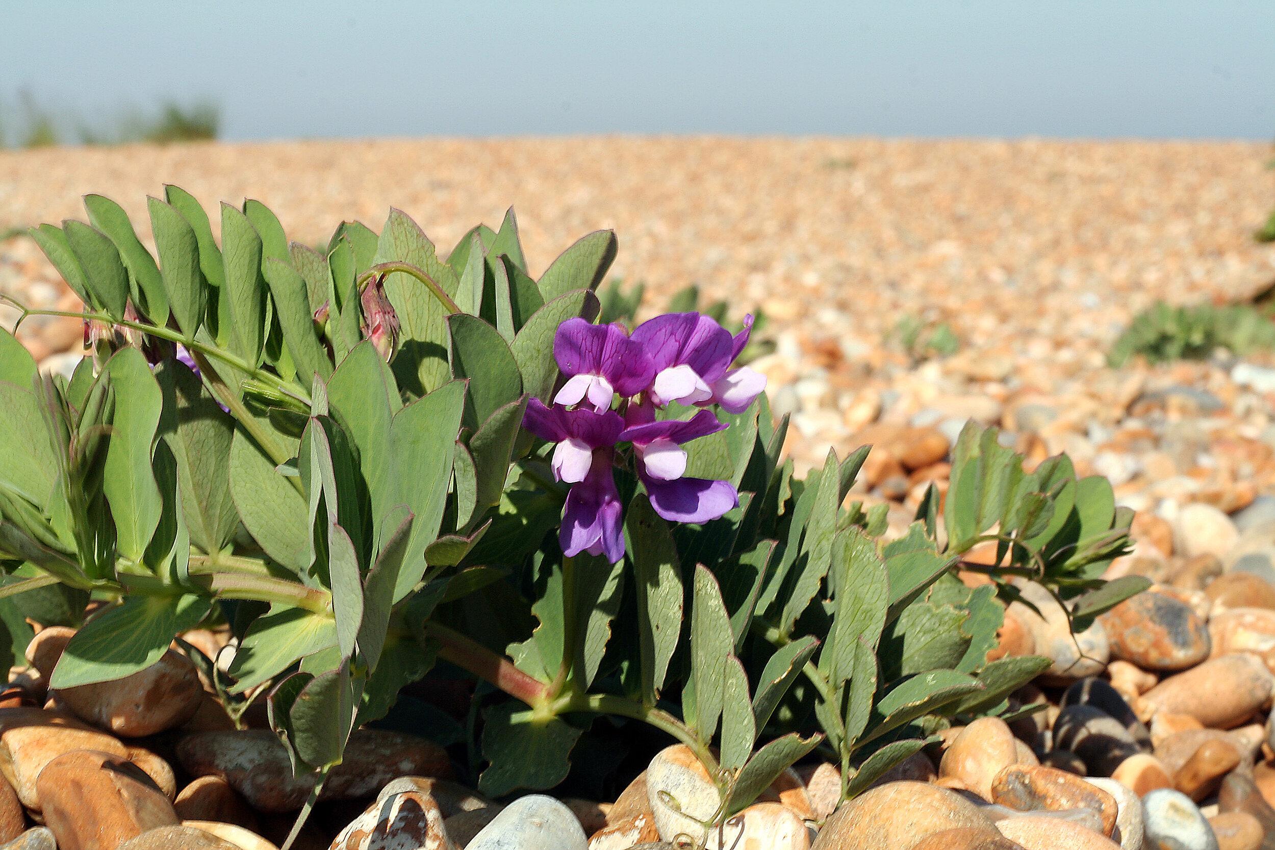 Inland beach pea ( Lathyrus japonicus )