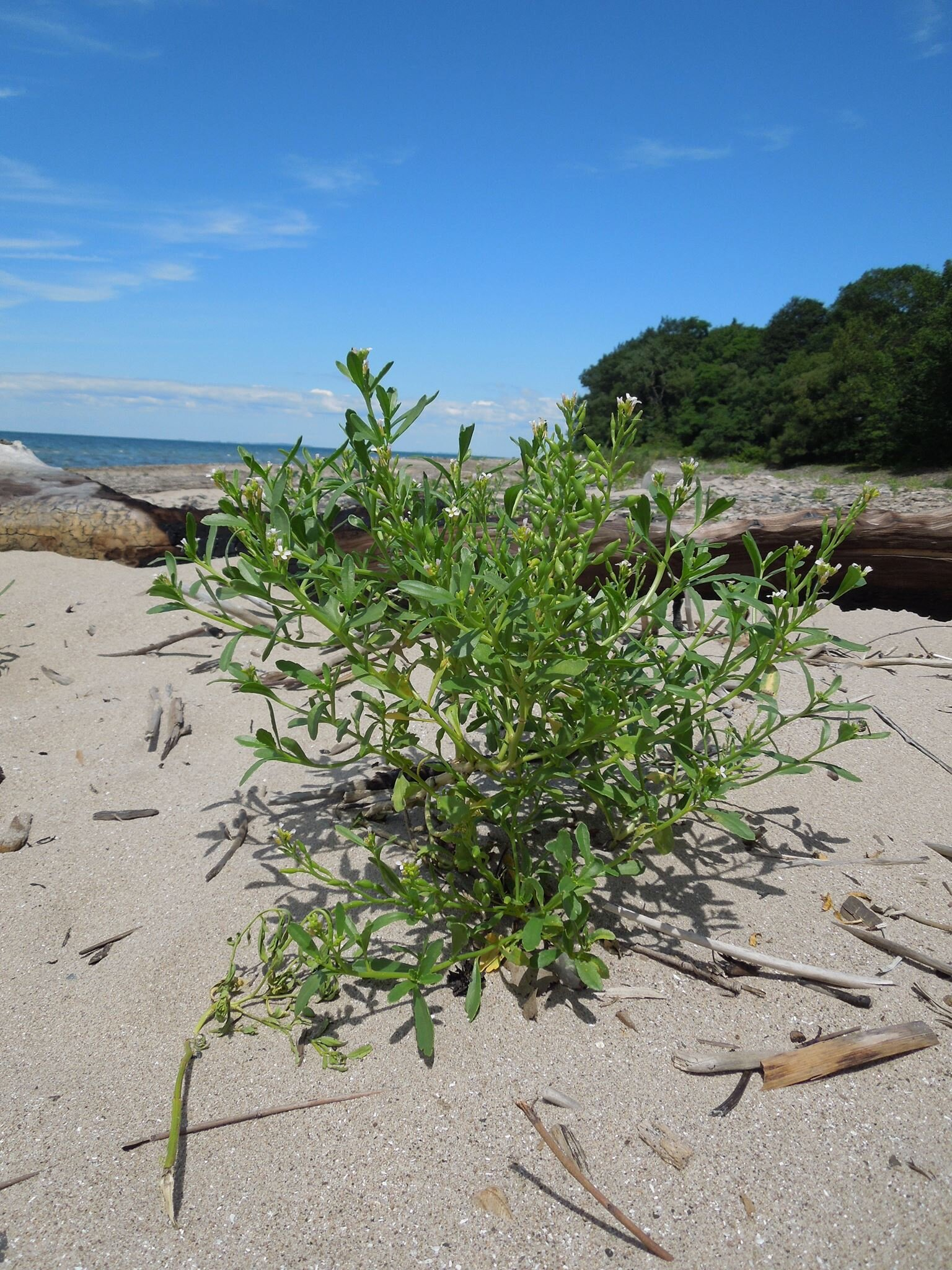 Sea rocket ( Cakile edentula )