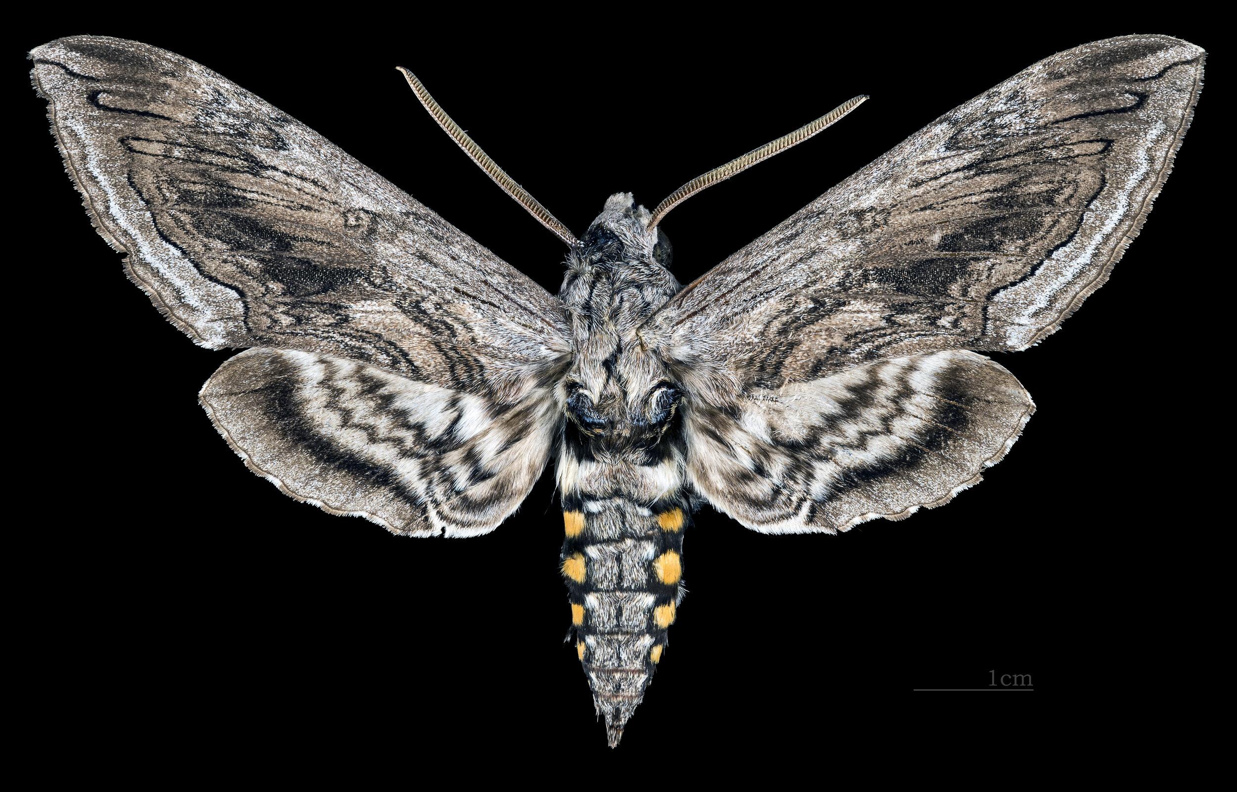 Manduca quinquemaculata  adult male
