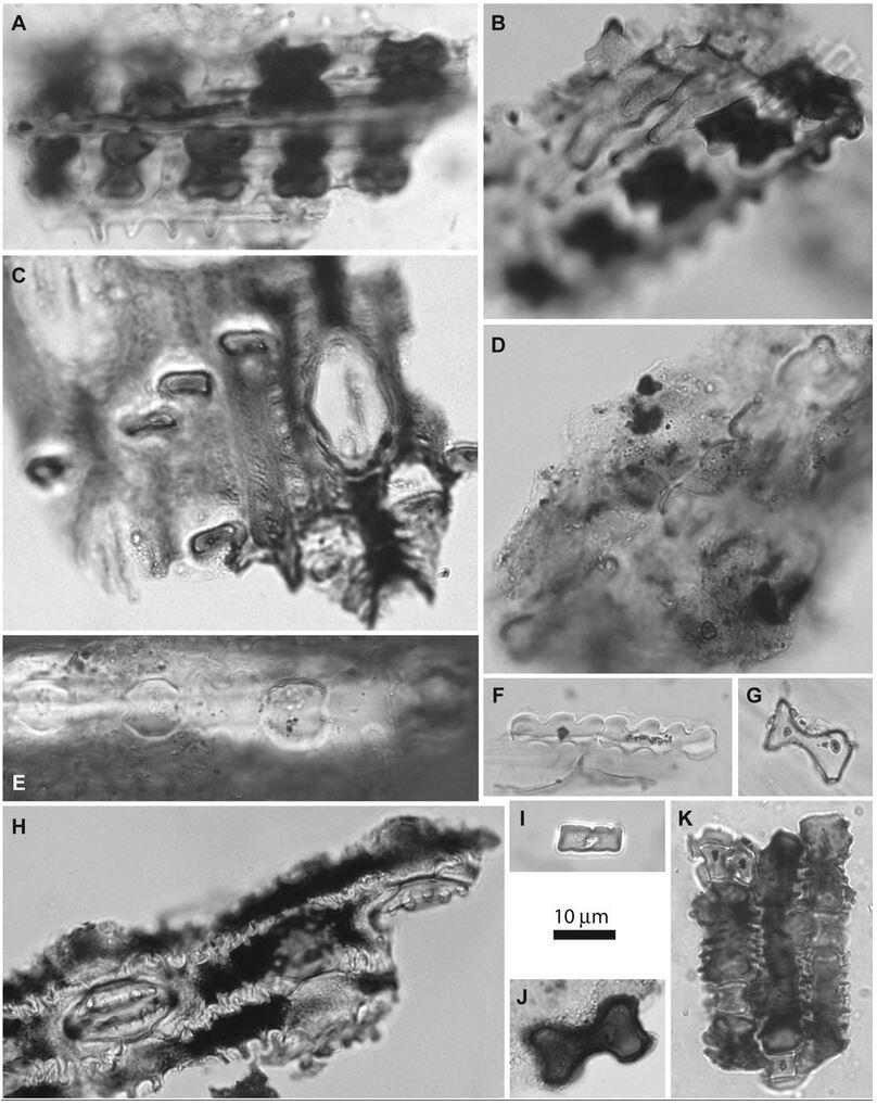 phytolith.JPG