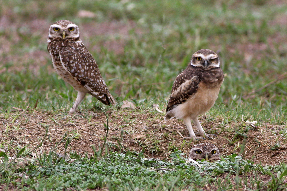A pair of burrowing owls ( Athene cunicularia )