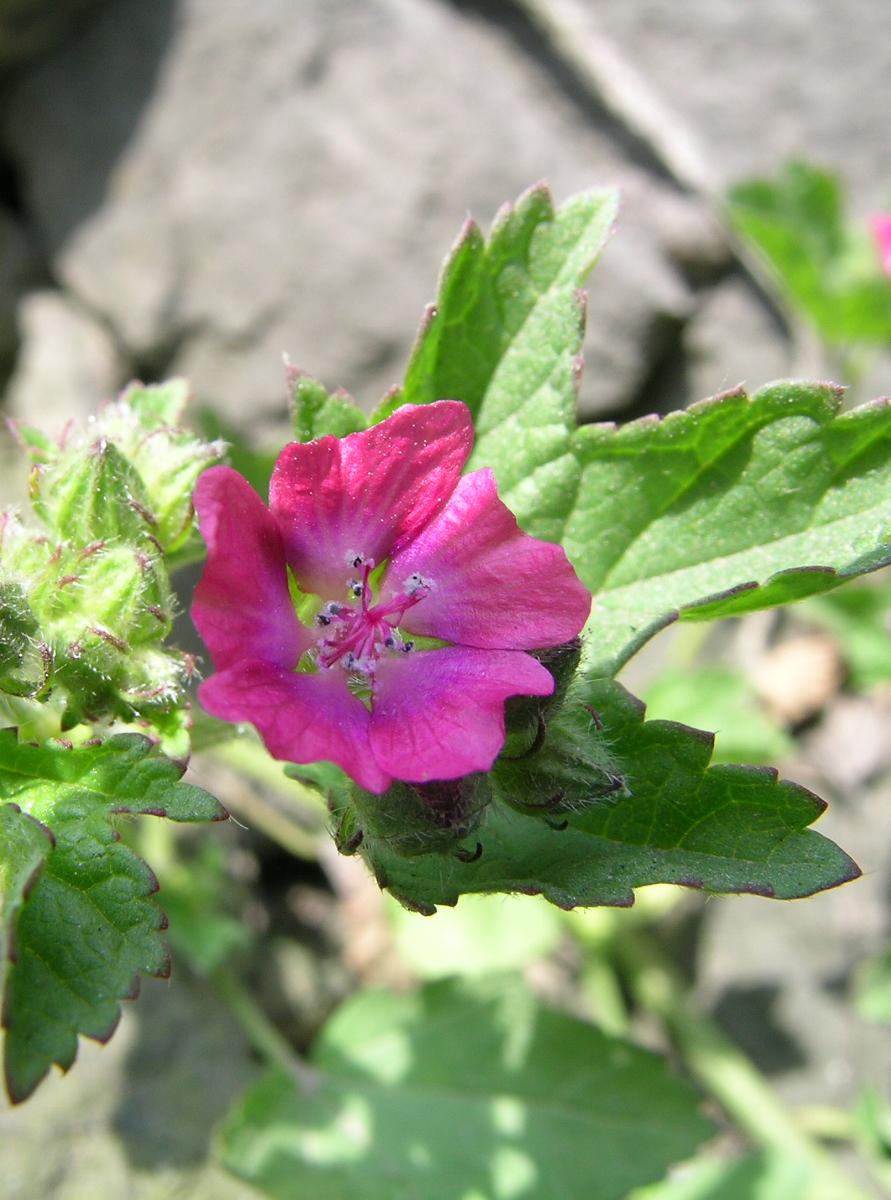 Fuertesimalva peruviana  (Malvaceae)