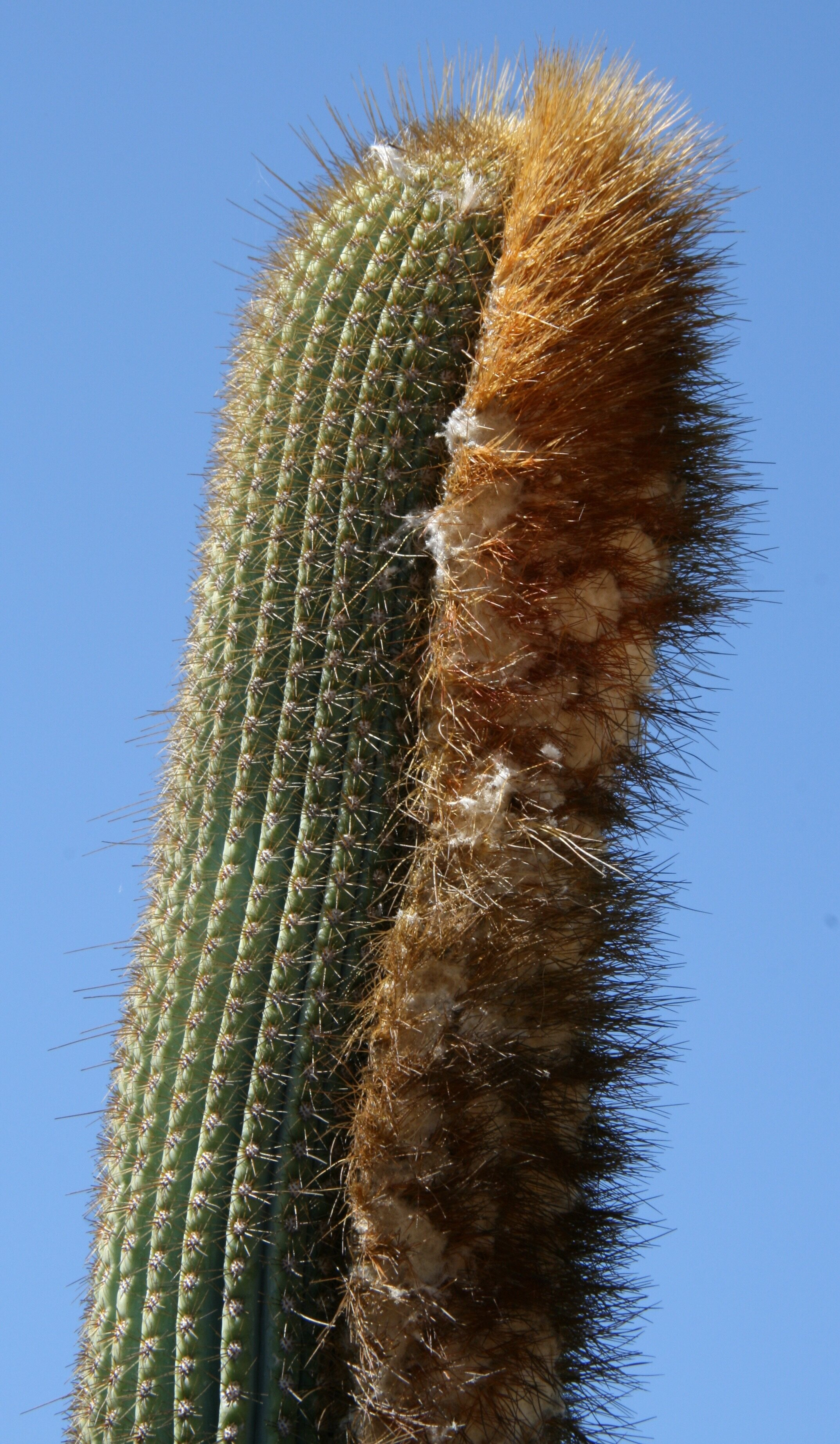 "/""2/"" TWO  Pieces Unique 6-7/"" inch  Cholla Wood Cactus Organic"
