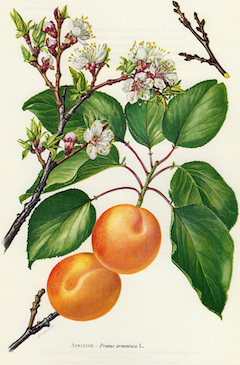 Apricot kernel oil :  very moisturizing, anti-inflammatory, and soothing    ewg = 1