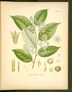 Benzoin:   used for centuries in wound healing, benzoin is also known for its uplifting and calming properties. It also smells amazing!    ewg = 1