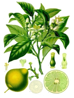 ( Picture by Wibowo Djatmiko (Wie146) - Own work, CC BY-SA 3.0 )   Bergamot:   Not just for your Earl Grey (hot, of course), bergamot has antibacterial and anti-inflammatory properties, making it excellent for sensitive or acne-prone skin.    ewg = 1