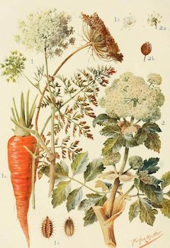 Carrot powder:   contains the benefits of carrot seed oil, rich in vtiamin A    ewg = 1