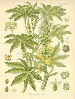 Castor seed, organic:   anti-inflammatory, aids in wound healing, incredibly moisturizing, and antifungal    ewg = 2