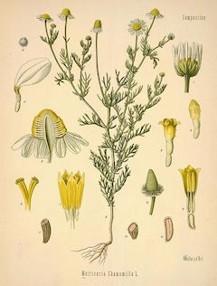 Chamomile:   calming and soothing when taken internally, chamomile is also an effective anti-irritant when applied to the skin.    ewg = 1