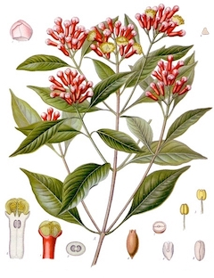 Clove:   aids in detoxification, while also possessing antibacterial properties. Also smells like Yule.    ewg = 1