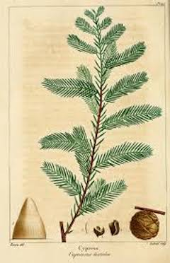 Cypress:   strengthening, healing, anti-inflammatory, detoxing, and calming    ewg = 1