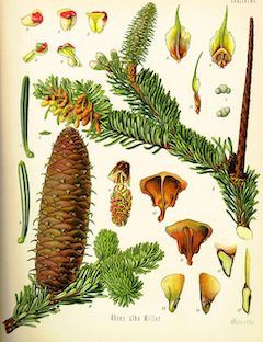 Fir:   antiseptic, soothing, detoxifying, and cleansing    ewg = 1