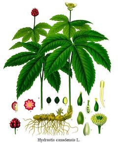 Goldenseal:   a well-known antidote to many skin issues, goldenseal is healing, antifungal, and antibiotic.    ewg = 1