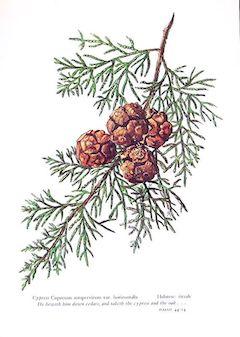 Green cypress:   healing, antispasmodic, and detoxifying    ewg = 1