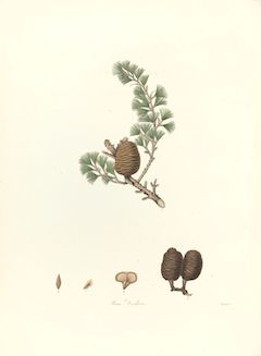 Himalayan cedar:   strengthening, healing, anti-inflammatory, and calming    ewg = 1