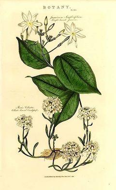 Jasmine:   antibacterial, antifungal, and antiviral, jasmine is a stimulating, natural antidepressant, as well as a well-known aphrodisiac. Oo la la!    ewg = 1