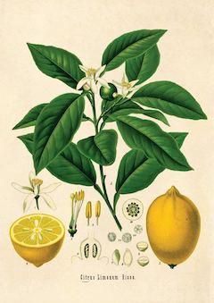 Lemon:   astringent, antiseptic, mood-boosting, and oil-reducing    ewg = 1