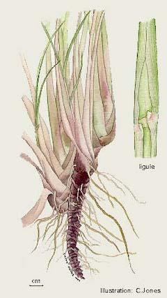 Lemongrass:   antibacterial, antifungal, anti-inflammatory, and mood-boosting    ewg = 1
