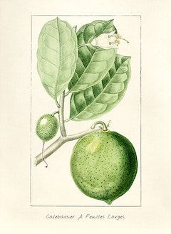 Lime:   antiviral, pain-alleviating, and mood-boosting    ewg = 1
