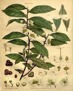 Green tea:   a skin-clearing, anti-inflammatory antioxidant powerhouse.    ewg = 1