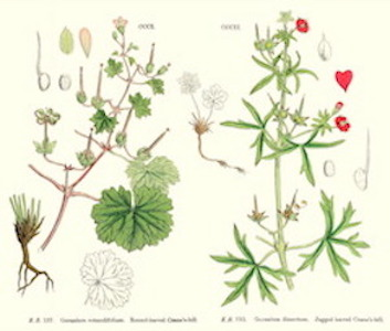 Geranium:   anti-inflammatory, antibacterial, and antiseptic, as well as uplifting to the senses and overall imparting joy.    ewg = 1