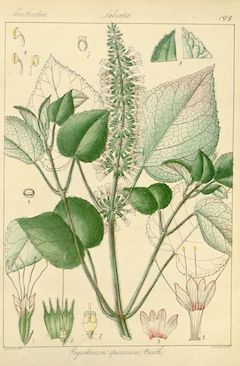 Patchouli :  a natural antidepressant, patchouli has many other benefits. Among them are its antibacterial, astringent, and anti-inflammatory properties, its uses as an aphrodisiac, and its ability to stimulate circulation. It is also an effective alternative to citronella as an insect repellent. Patchouli is toning and calming.    ewg = 1