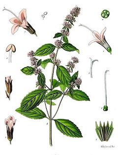 Peppermint :  cooling, anesthetic, antibacterial, antifungal. Very effective topical treatment for aches and pains. Controls oil production when applied topically, and it soothes irritated skin when diluted.    ewg = 1