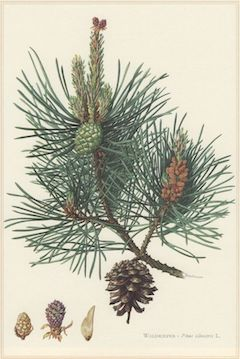Pine needles   Used mainly for decorative purposes, pine needles also have many of the same benefits found in pine essential oil. Their uplifting scent is welcome year round.    ewg = 1